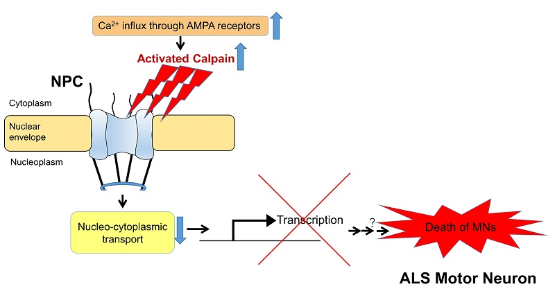 © 2017 Takenari Yamashita.In spinal motor neurons of sporadic ALS model mice, activated calpain impairs nucleo-cytoplasmic transport by cleaving the nucleoporins that make up the nuclear pore complex (NPC). This suggests the impairment leads to motor neuron death by suppressing the expression of important neuronal genes and disrupting the neuron's physiological function.