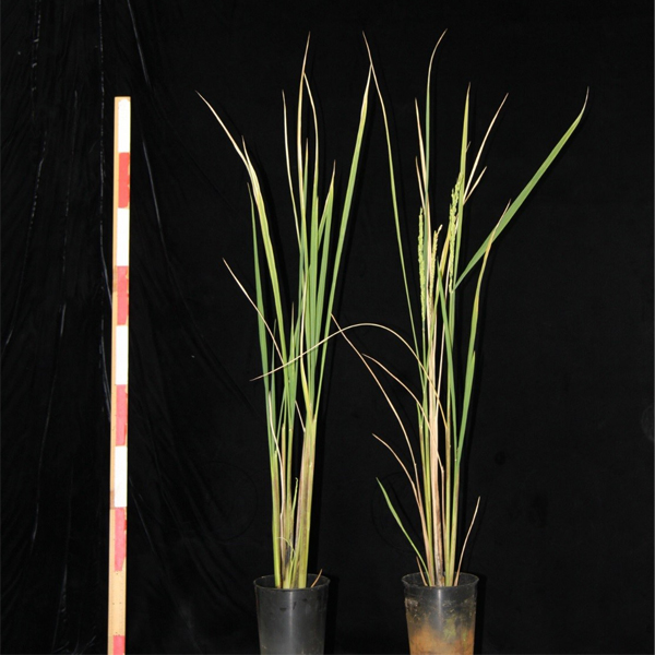 © 2017 Takeshi Izawa.A new rice strain flowers only when administered Routine or Oryzemate, a common agrochemical developed to fight fungal disease. Unsprayed plants, on left, did not flower, while the ones administered the chemicals, on right, flowered 35 days after they were sprayed.