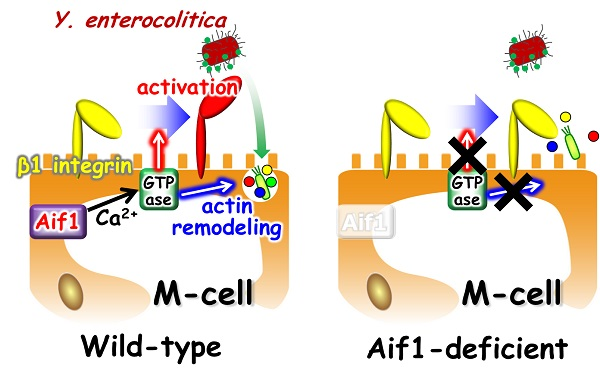 © 2017 Shintaro Sato.In normal (wild-type) mice, Aif1 is expressed in M cells. Aif1 activates an enzyme (GTPase) typified by Rac in a calcium ion-dependent manner. Activated GTPase induces actin remodeling, transforming the shape of the cell membrane on the interior surface of the intestines and leading to antigen uptake. GTPase also activates a receptor (β1 integrin) that recognizes Yersinia enterocolitica, a bacterium that causes food poisoning, enabling its effective uptake. In Aif1-deficient mice, both the uptake of antigens and the invasion of pathogenic bacteria are diminished because they cannot activate GTPase.