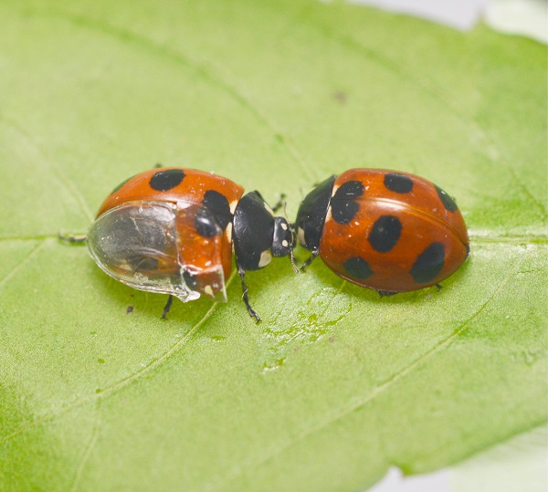 ©  2017 Kazuya Saito.Researchers transplanted a transparent artificial forewing, or elytron, onto a Coccinella septempunctata seven-spotted ladybug (left) to observe its wing-folding process in detail. The artificial wing is made of ultraviolet light-cured resin and constructed from a silicon impression of the elytron's undersurface.