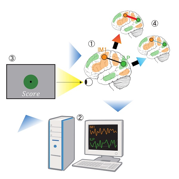 © 2017 Ayumu Yamashita.Researchers used a device to monitor fluctuations in brain activity in real time (figure 1), and analyzed similarity in activity fluctuations (temporal correlation) between two brain regions, lM1 and lLP (figure 2). They informed participants of the correlation as a score represented by a green circle and its size (figure 3), and repeated the procedure many times. As a result, the correlation increased or decreased depending on the experimental setting (figure 4).
