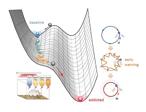 © 2017 Catarina Luis, Ikuhiro Yamaguchi, Yoshiharu Yamamoto.The illustration at left depicts the state transition of a rat's biological system from a stable state prior to alcohol deprivation (blue), to an unstable state during deprivation (orange), to an excessive-drinking state following reintroduction of alcohol (red). The limit circles, at right, reflect circadian locomotor activity at baseline (stable), vicinity of tipping point (unstable), and addicted (stable) states.