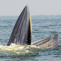 Scientists discover passive feeding in baleen whale species