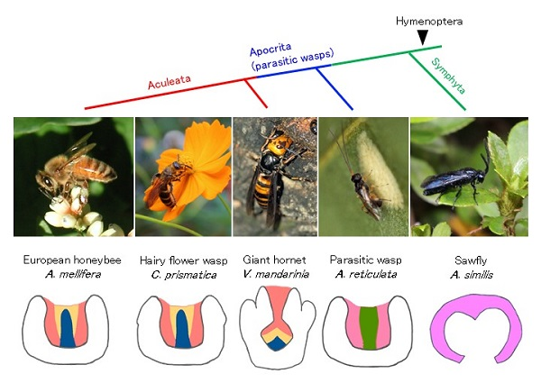 © 2018 Satoyo Oya, Hiroki Kohno, Yooichi Kainoh, Masato Ono, and Takeo Kubo.Evolutionary history tree of five insect species analyzed in this study, top, photos of the species, middle, and illustrations of Kenyon cell subtypes that compose mushroom bodies.