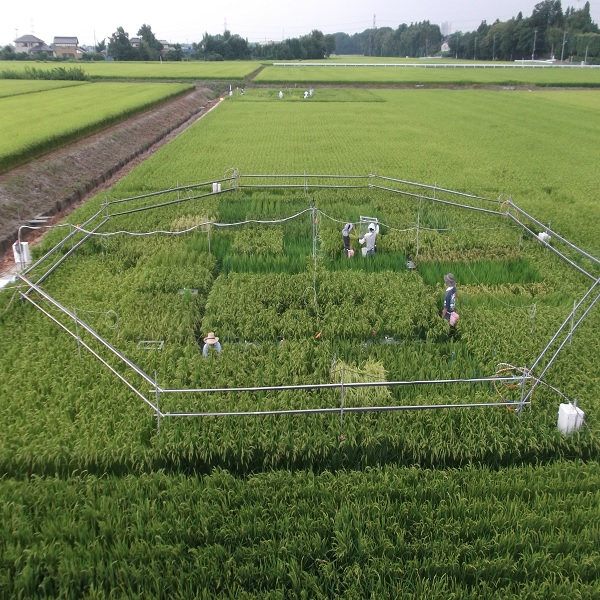 © 2018 Dr. Toshihiro HASEGAWA (National Agriculture and Food Research Organization of Japan).Rice within the octagon in this field is part of an experiment started by a University of Tokyo professor and designed to grow rice under different atmospheric conditions. The experiment was conducted by researchers of National Agriculture and Food Research Organization of Japan. Rice grown under the higher carbon dioxide concentrations expected in the second half of this century (568 to 590 parts per million) is less nutritious, with lower amounts of protein, vitamins, and minerals.