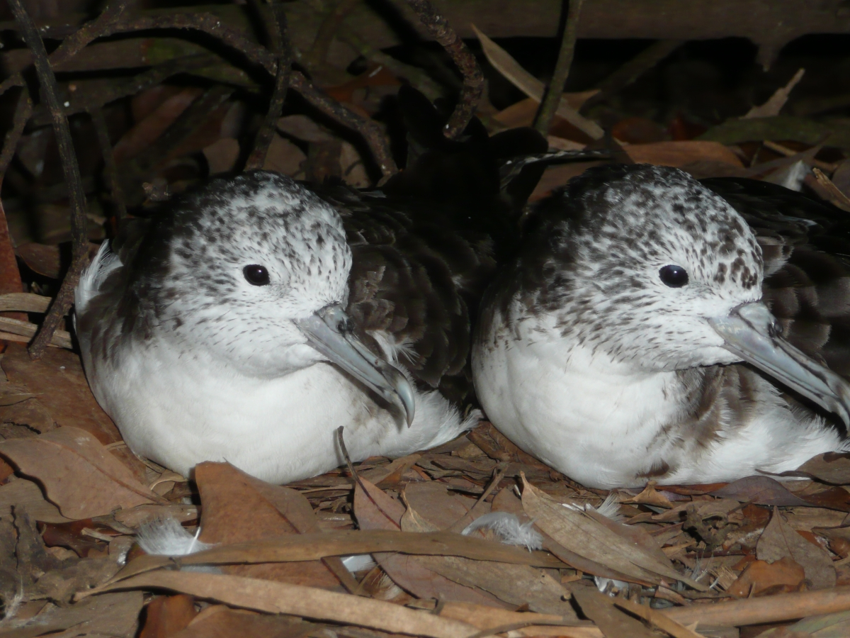 Two streaked shearwater seabirds sitting on the ground