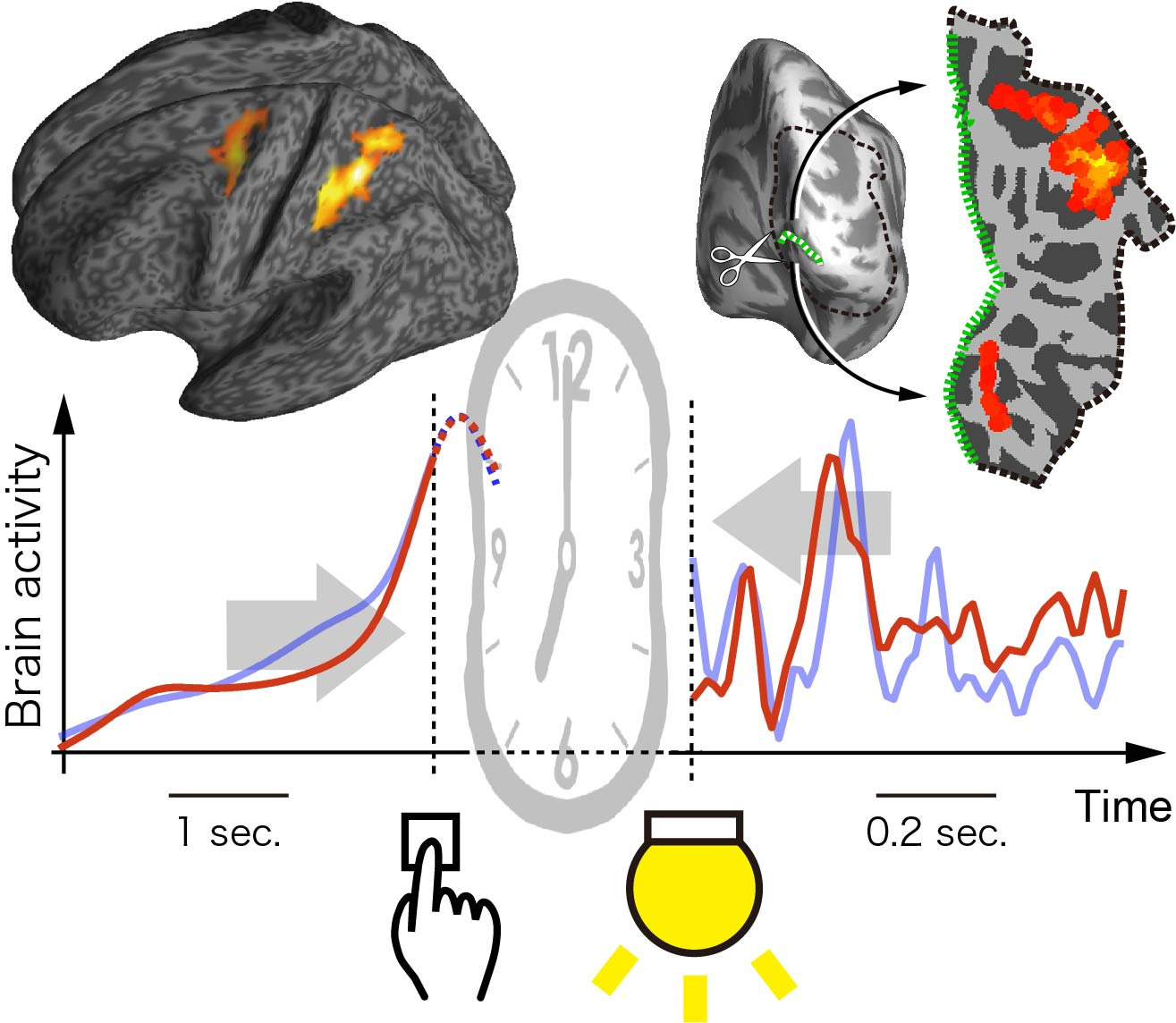 Illustration of brain mechanisms underlying time compression between action and its outcome