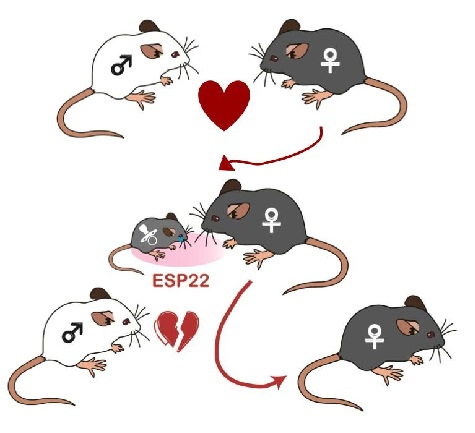 Cartoon representation of the research paper involving juvenile and adult mice