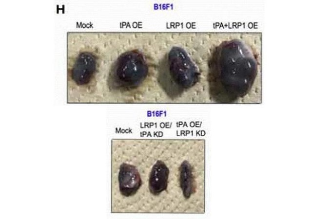 Eight tumors excised from mice with obvious size differences based on the treatment given to the mice.
