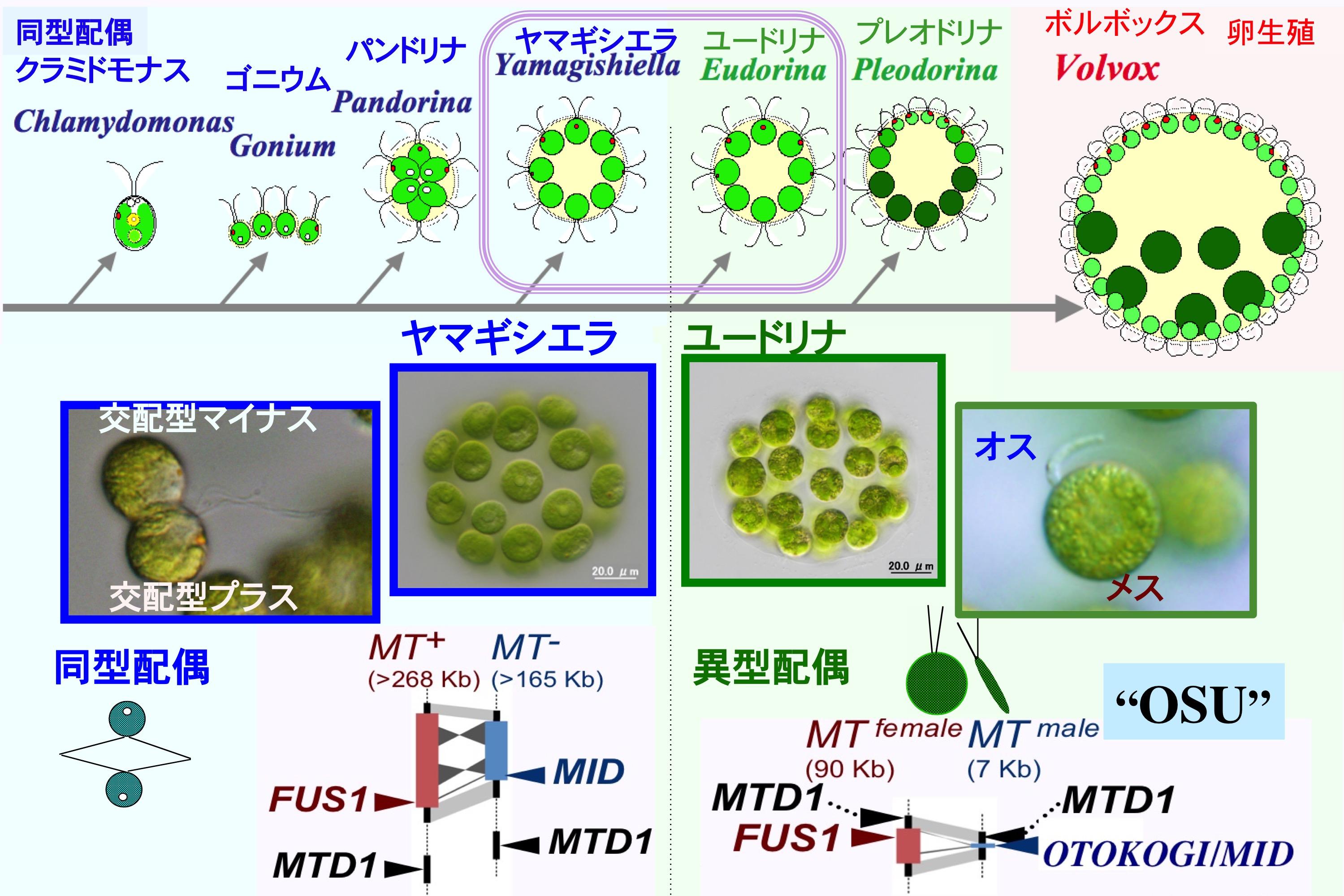 メス・オス出現進化を橋渡しする緑藻ボルボックス系列の図