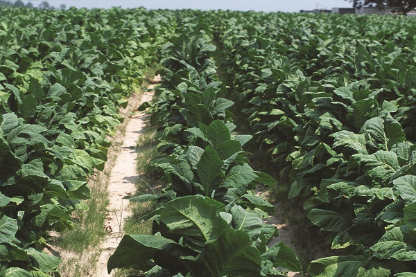 Rows of tobacco plants grow on a farm in North Carolina, USA.