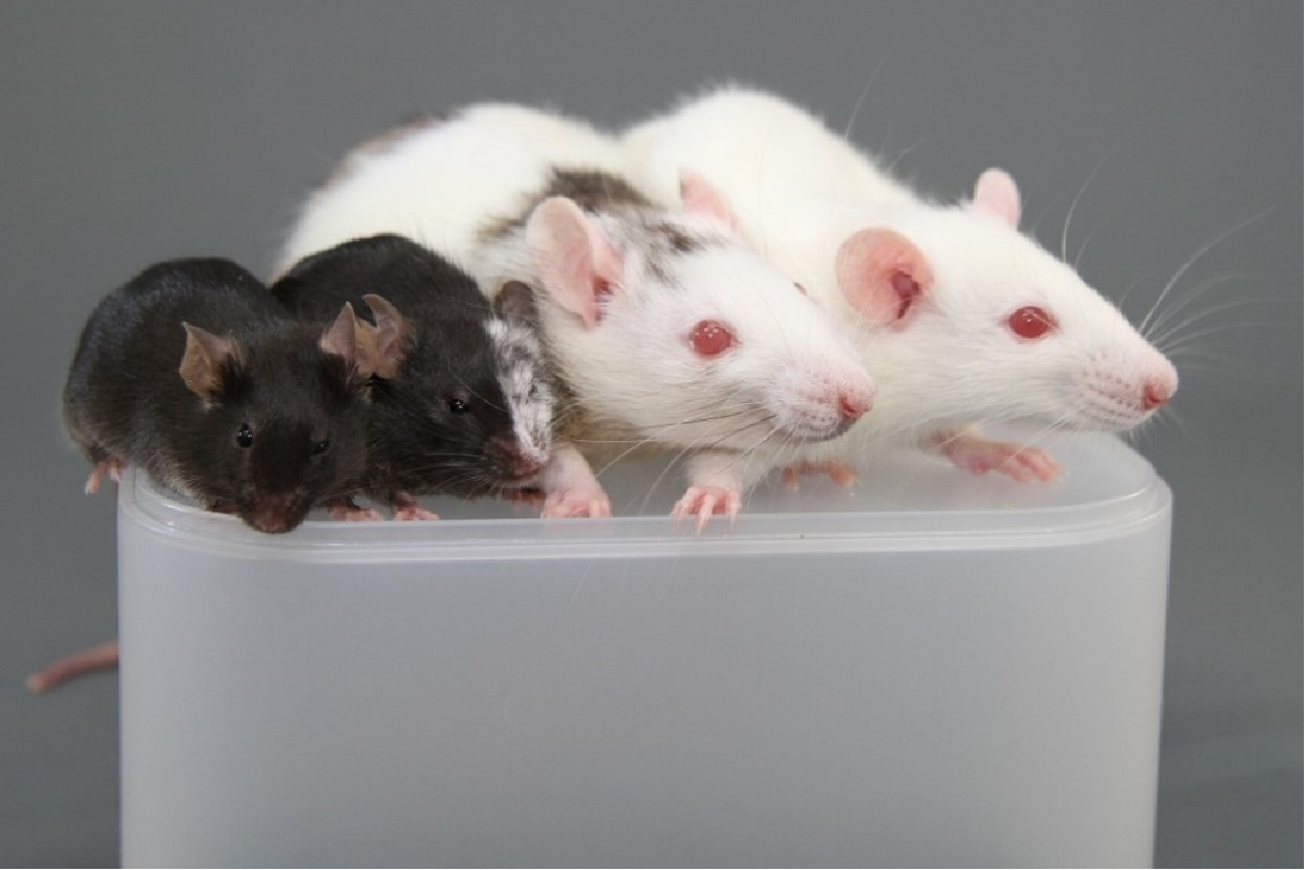 Two black mice and two white rats face the camera. One mouse and one rat have patches of mixed color fur, showing that they are chimeric.