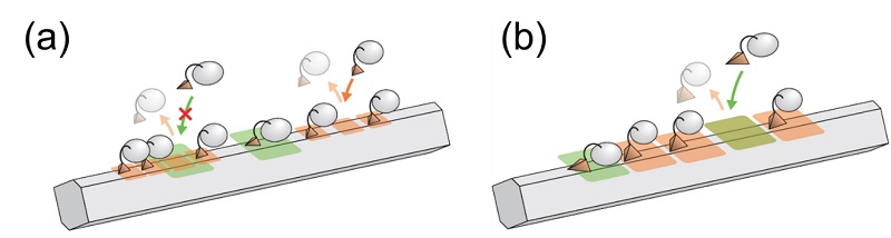 Cartoon schematic of crowding-out effect causing some cellulase molecules to be blocked from binding