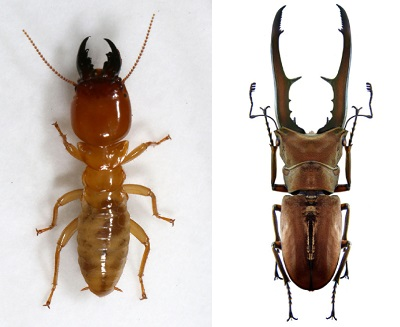 Both solider termites (left) and stag beetles (right) have extra long jaws