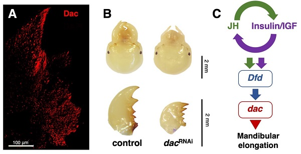 Soldier mandibles are elongated by dachshund gene under hormonal and Hox-gene controls.
