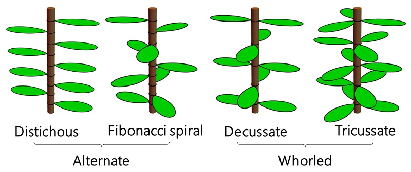Cartoon diagrams of four common phyllotaxis patterns.