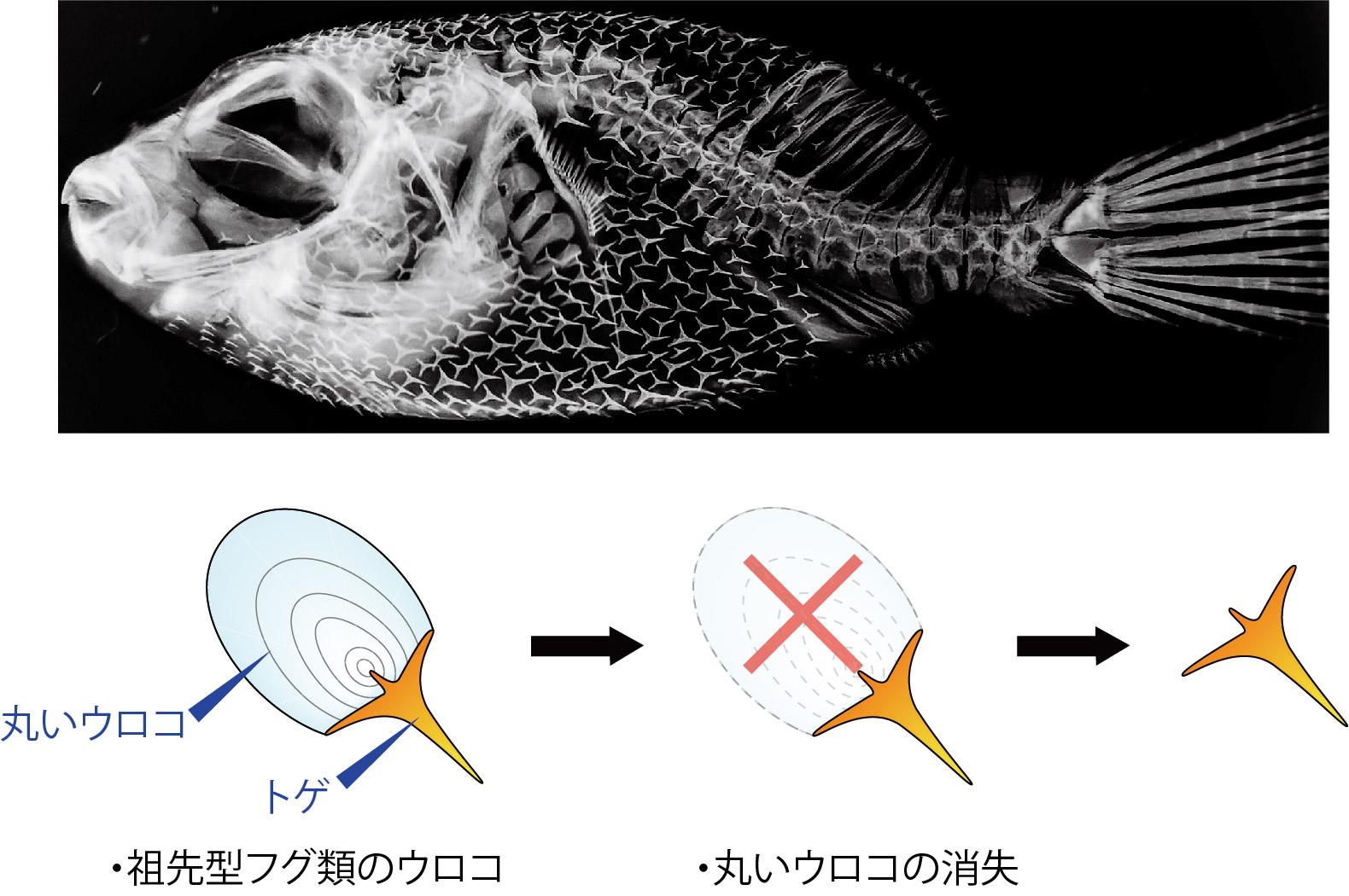 フグのCT画像とそのトゲの進化仮説