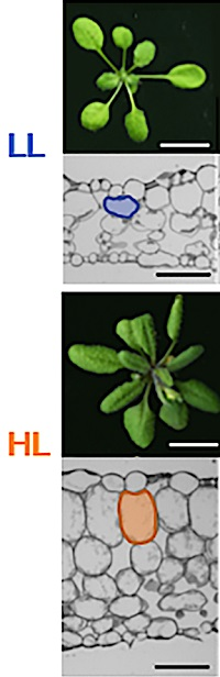 Top-down photographs of two Arabidopsis plants and light microscopy images of their leaf cells.