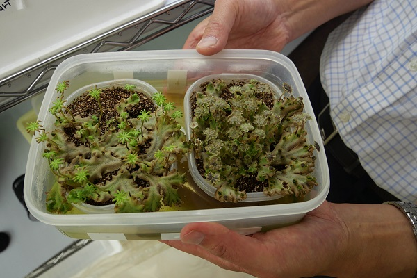 Male and female liverwort plants grow side-by-side in a clear plastic dish being held in a man's hands.