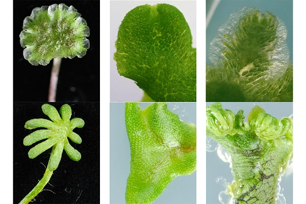 Six light microscopy images of genetically different liverwort plants.