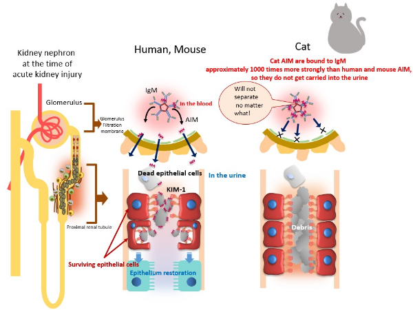 Aiming To Double Cats Lifespan The University Of Tokyo