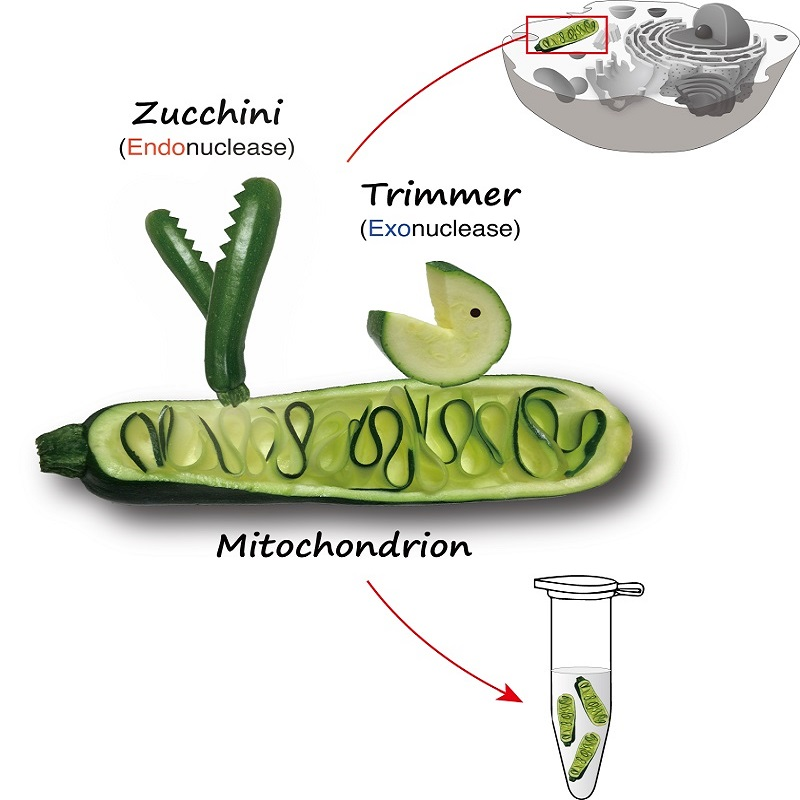 Grey diagram of cell in top right. Cartoon of vegetables representing proteins studied in the research in center. Cartoon of vegetables in a laboratory test tube in bottom right.