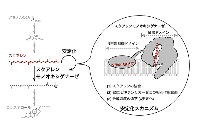 コレステロール合成経路の新たな制御ポイント | 東京大学