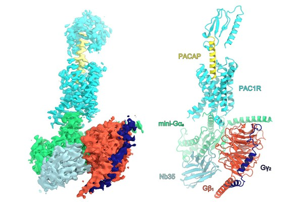Space filling (left) and tertiary structure (right) diagrams of PAC1R-signaling complex