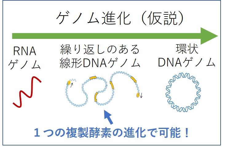 進化のミッシングリンクを埋める単純なDNA複製機構を進化実験により ...