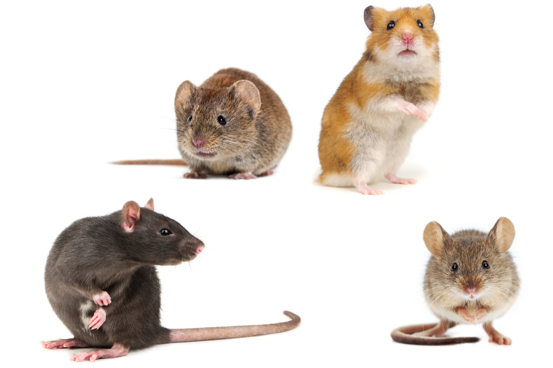 Four rodents on a white background. From left to right, top to bottom: vole, hamster, rat, and mouse.