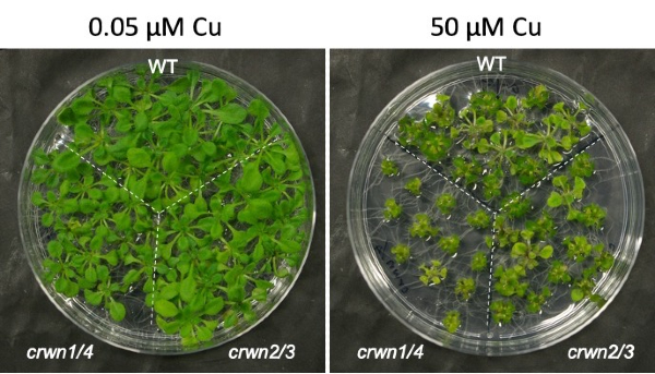 Seedling Arabidopsis thaliana plants grown under normal (left) and high (right) copper conditions.