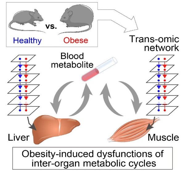 Graphical abstract of the research project showing a healthy and obese mouse in the top left corner, blood test in the center, and liver and muscle at the bottom.